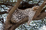 Male leopard (Panthera pardus) sleeping / resting on a tree bough. Long Gully near Ndutu, Ngorongoro Conservation Area, Tanzania. April.
