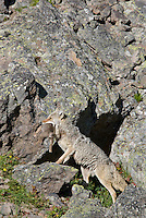 Wild Coyotes (Canis latrans)--mother carrying young pup to new densite (coyotes usually move dens several times during the denning season).  Western U.S., June.