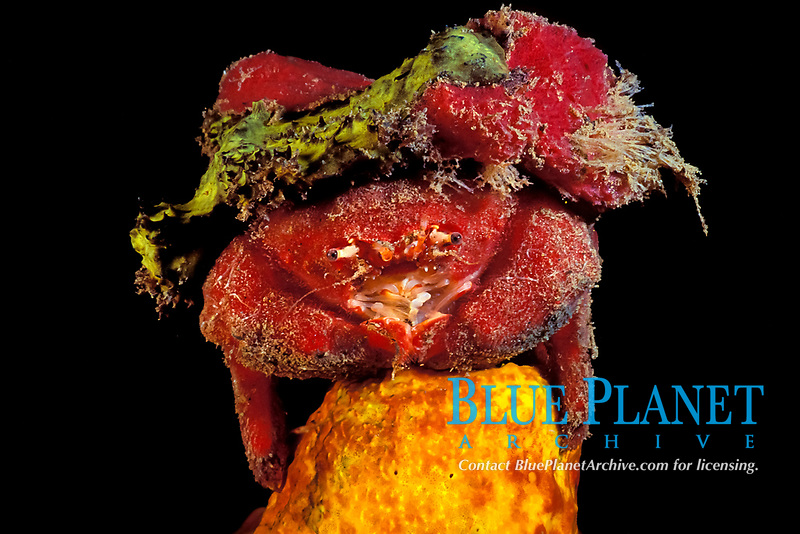 sponge crab, family Dromiidae, covers itself with sponges to camouflage itself Commonwealth of Dominica (Eastern Caribbean Sea), Atlantic