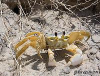 0604-0914  Ghost Crab (Sand Crab) on Beach at Outer Banks in North Carolina, Ocypode quadrata  © David Kuhn/Dwight Kuhn Photography