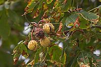 Gewöhnliche Rosskastanie, Roßkastanie, Reife Früchte und Fruchtschalen am Baum, Ross-Kastanie, Roß-Kastanie, Kastanie, Aesculus hippocastanum, Horse Chestnut, Marronnier d`Inde