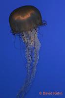 0104-08tt  Sea Nettle - Sea Nettle Jellyfish swimming in ocean, Chrysaora spp.  © David Kuhn/Dwight Kuhn Photography