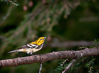 Black-throated Green Warbler perched in hemlock tree