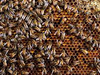 The bees have installed themselves on the colony's reserve of pollen. The cells are full of bee bread, the food for the larvae and the brood.<br /> Les abeilles sont installées sur la réserve de pollen d'une colonie. Les cellules remplies de pain d'abeille, la nourriture des larves et du couvain.