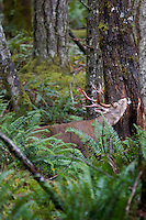 Coastal Black-tailed Deer buck (Odocoileus hemionus).  Pacific Northwest.  Fall.  Buck is rubbing glands agains tree during rutting season.