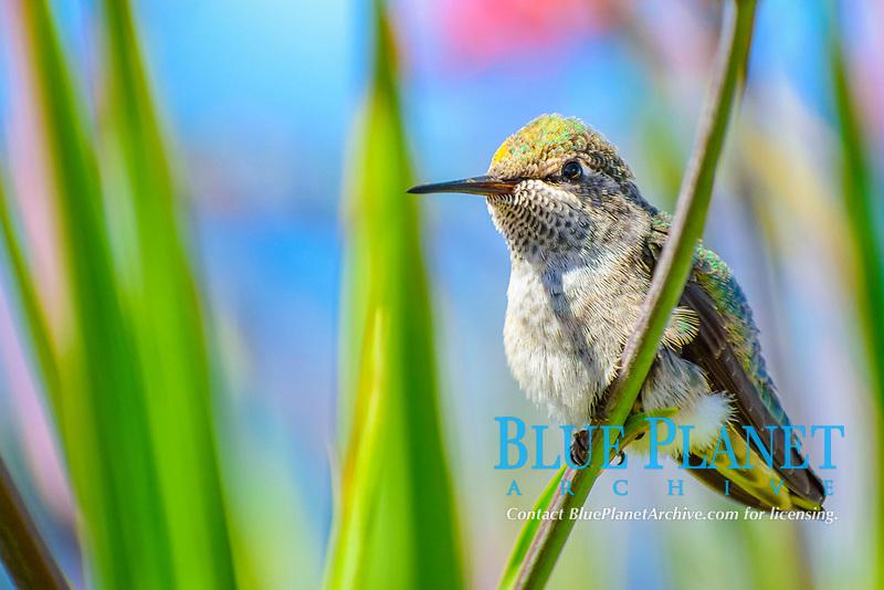 Anna's hummingbird, Calypte anna, Vancouver, British Columbia, Canada