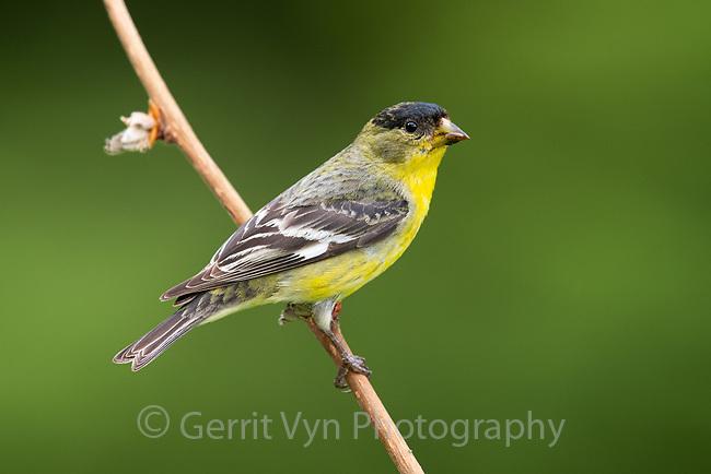 Lesser Goldfinch (Spinus psaltria). Multnomah County, Oregon. May.