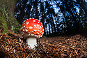Fly Agaric {Amanita muscaria} growing in coniferous woodland at night. Peak DIstrict National Park, Derbyshire, UK. October.