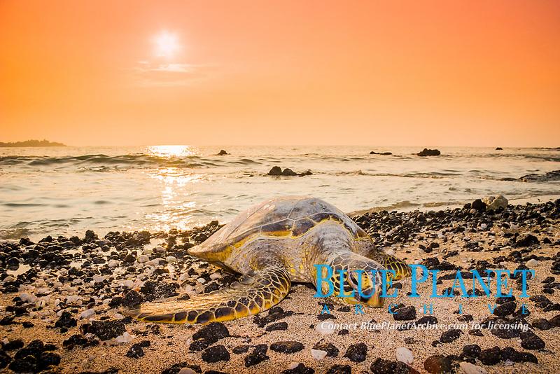 green sea turtle, Chelonia mydas, endangered species, resting on the beach at sunset, Waikoloa Beach, Anaehoomalu Bay, Waikoloa, Kohala Coast, Big Island, Hawaii, USA, Pacific Ocean