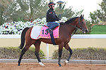 RIYADH, SA February 19 2021: ROMAN RIVER (GB) Track work from King Abddulaziz Racetrack, Riyadh, Saudi Arabia. Shamela Hanley/Eclipse Sportswire/CSM