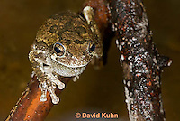 0805-0902  Eastern Gray Treefrog (Grey Tree Frog) Mating Call with Inflated Vocal Sac, Hyla versicolor  © David Kuhn/Dwight Kuhn Photography