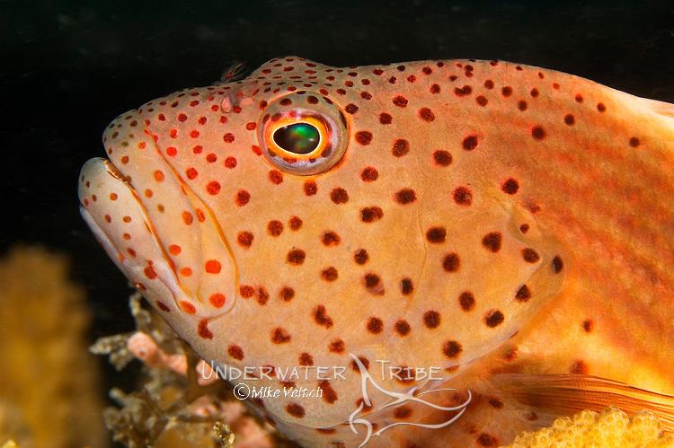 Freckled Hawkfish Portrait, Paracirrhites forsteri, Yap, Micronesia, Pacific Ocean