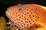 Freckled Hawkfish Portrait, Paracirrhites forsteri, Yap, Micronesia, Pacific Ocean