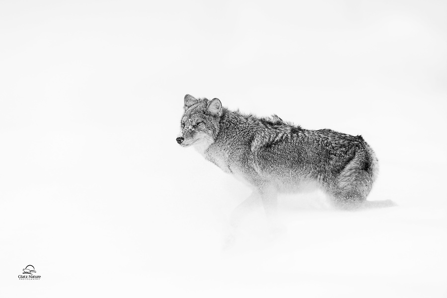 Coyote (Canis latrans) comes face to face with a harsh blast of snow and frigid air as it tries to cross the road in near white-out conditions.