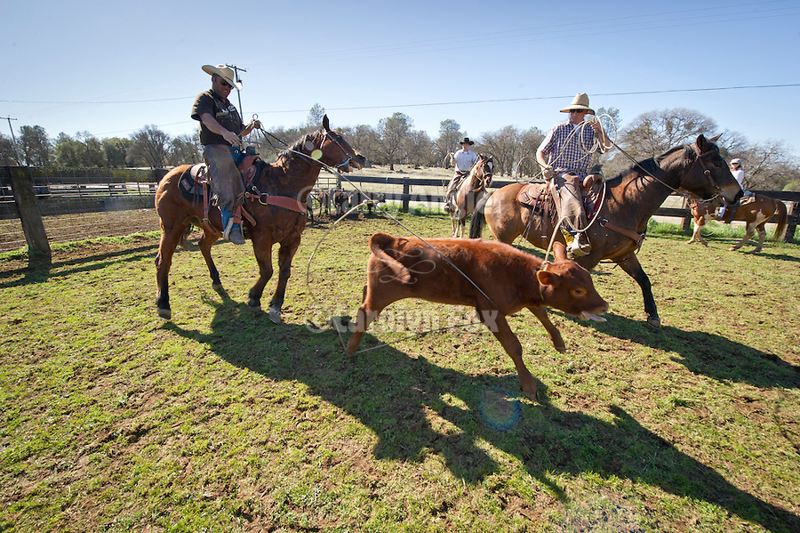 Jason Belli and Seth Seever rope a calf during marking and branding at the Stoney Creek Corrals of the Busi Ranch, Amador County, Calif.