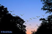 0926-06xx Canadien Geese - Flock Migrating into Sunset- Branta canadensis  - © David Kuhn/Dwight Kuhn Photograhy
