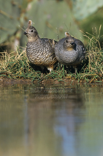 Scaled Quail, Callipepla squamata,pair at pond drinking, Starr County, Rio Grande Valley, Texas, USA, May 2002