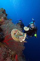 Chambered nautilus, Nautilus pompilius, and divers (MR).  Palau, Micronesia.