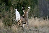 White-tailed Deer Buck (Odocoileus virginianus) bounding away.