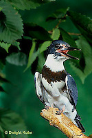 KG01-019x  Belted Kingfisher - male perched along stream - Megaceryle alcyon
