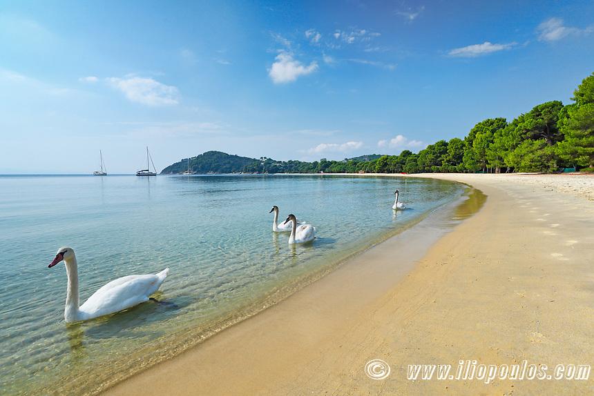 Swans at the beach Koukounaries of Skiathos island, Greece