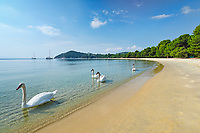 Swans at the beach Koukounaries of Skiathos island, Greece