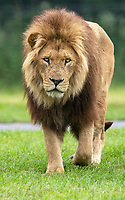 BNPS.co.uk (01202) 558833. <br /> Pic: CorinMesser/BNPS<br /> <br /> It's Harry Mane - the pride of England.<br /> <br /> Harry the lion looks to inspire the Three Lions for their Euro 2020 quarter-final match with his impressive footballing skills.<br /> <br /> Just like England's Harry Kane, the male lion is the leader of the pride of lions at Longleat Safari Park in Wiltshire.<br /> <br /> And when keepers tossed in a football to stimulate the group, Harry was the first one onto the pitch.<br /> <br /> He showed off his athletic prowess by stretching up to a tree branch to dislodge a red and white ball with the Three Lions emblem emblazoned on it.
