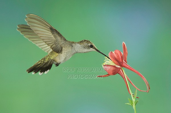 Black-chinned Hummingbird, Archilochus alexandri, female in flight feeding on columbine, Madera Canyon, Arizona, USA