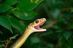 Indo-Chinese Rat Snake-Ptyas korros