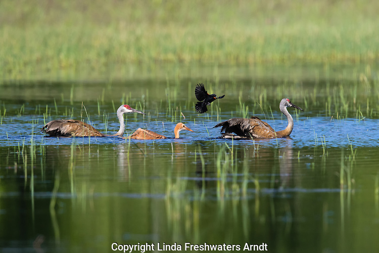 Sandhill crane family being attacked by a male red-winged blackbird