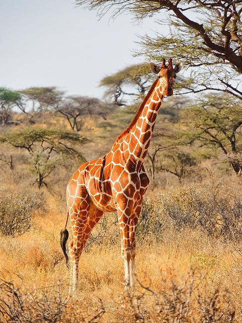Giraffe, Samburu