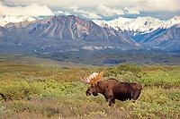 moose, or elk, Alces alces, bull, with large antlers, foraging, Alaska Range in the background, Denali National Park, Alaska, USA