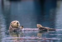 Sea otter, Cordova, Alaska