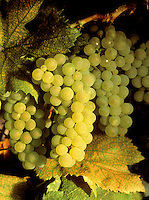 CHARDONNAY WINE GRAPES on the vine at harvest time