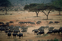 African, wild animal. View of a herd of Cape Buffalo as they peacefully graze in the Masai Mara Plains. Masai Mara, Kenya.