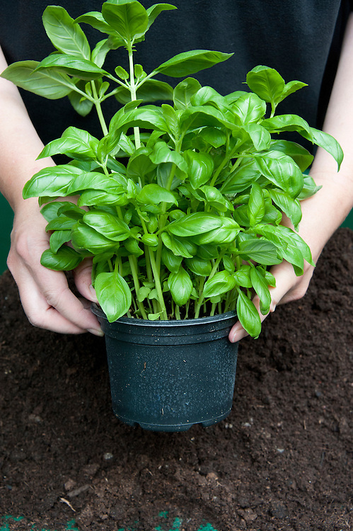 Dividing and re-potting a supermarket-bought basil plant. Image 1 of 10.