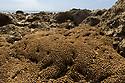 Honeycomb Worm (Sabellaria alveolata) reef at low tide. Branscombe Beach, Devon. June.