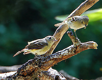 Hutton's vireo pair at bathing place