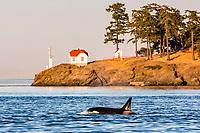 killer whale or orca, Orcinus orca, surfacing near the lighthouse, Turn Point, Stuart Island, Washington, USA, Pacific Ocean