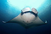 oceanic manta ray, Mobula birostris, formerly Manta birostris, heading for a sommersault in the blue from below, Hin daeng, red rock, Andaman sea, Indian Ocean, Thailand, Asia