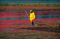 Man harvesting cranberries. Carver, Massachusetts.