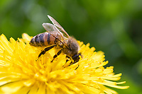 Honigbiene, Honig-Biene, Europäische Honigbiene, Westliche Honigbiene, Biene, Bienen, Apis mellifera, Apis mellifica, Blütenbesuch auf Löwenzahn, Nektarsuche, Blütenbestäubung, honey bee, hive bee, western honey bee, European honey bee, bee, bees, L'abeille européenne, l'avette, la mouche à miel