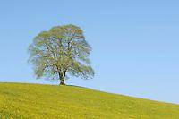 Linden tree (Tilia sp.), tree in spring, Switzerland, Europe