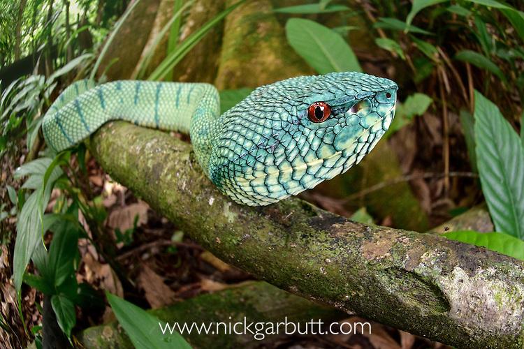 Adult Wagler's Pit Viper (Tropidolaemus wagleri) in riverine forest understory. Kinabatangan River, Sabah, Borneo.