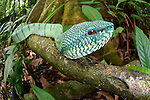Adult Wagler's Pit Viper (Tropidolaemus wagleri) in riverine forest understory. Kinabatangan River, Sabah, Borneo.