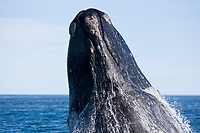 Head of a surfacing Southern right whale, Eubalaena australis, Conservation Dependant (IUCN), UNESCO Natural World Heritage Site, Golfo Nuevo, Peninsula Valdes, Chubut, Patagonia, Argentina, Atlantic Ocean