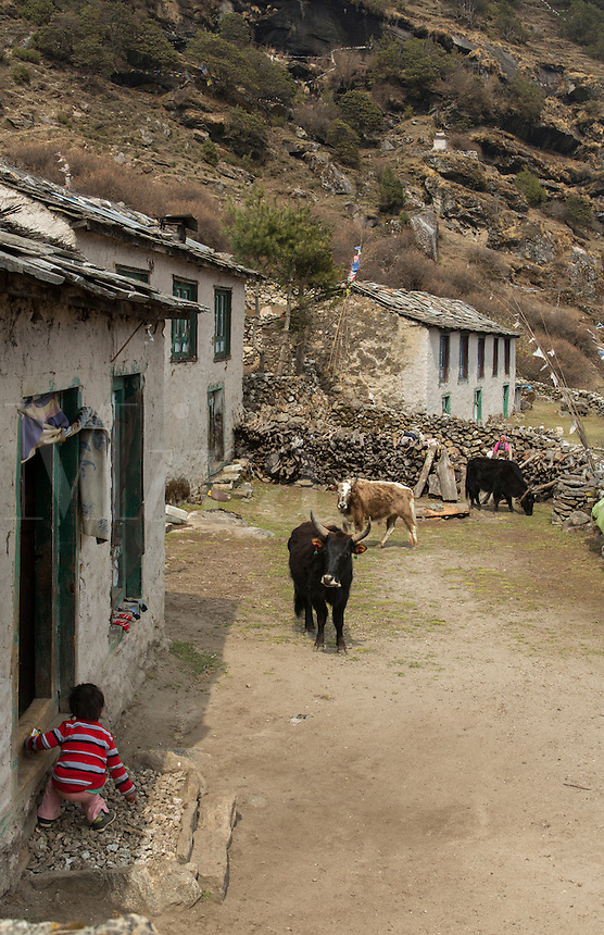 Nepal Child watches Dzo yaks from a house in village of Thamo, Solukhumburemote, Mt Everest, Himalayas,   76