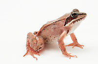 Wood Frog.Rana sylvatica.I have noticed that the ones in the lower 48 have longer legs and jump further than the ones in Alaska. Research confirms... Interesting.