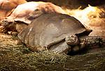 Foto: VidiPhoto<br /> <br /> VLISSINGEN – In reptielenzoo Iguana leven de meest wonderlijk reptielen en amfibieën. De meeste zijn door de douane of bij particulieren in beslag genomen. De Vlissingse reptielenopvang probeert waar mogelijk de dieren te herplaatsen in dierentuinen of weer terug te zetten in de natuur. Waar dat niet mogelijk is zorgt Iguana zelf voor opvang en zijn de dieren voor bezoekers te zien. Foto: Een Centrochelys sulcata (sporen schildpad).