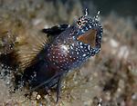 Sailfin Blenny singing mouth wide open, Emblemaria pandionis, Underwater Marine life Behavior, Blue Heron Bridge, Lake Worth Inlet, Riviera, Florida, USA, Intra Coastal Waterway, North Atlantic Ocean.5-12-27-11-640